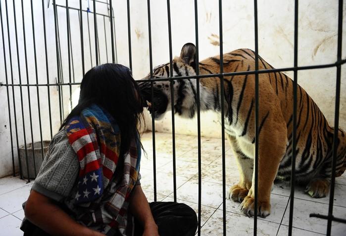 Тигр талисман живет в школе Индонезии: ласковый, как котёнок!
