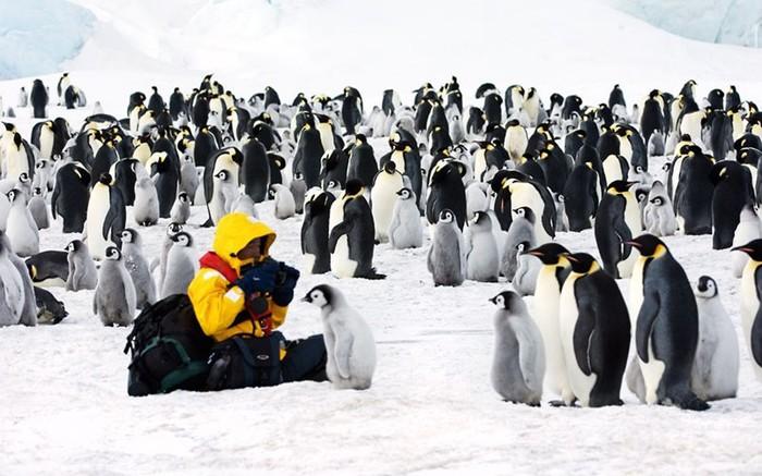 Императорские пингвины свободно живут в море