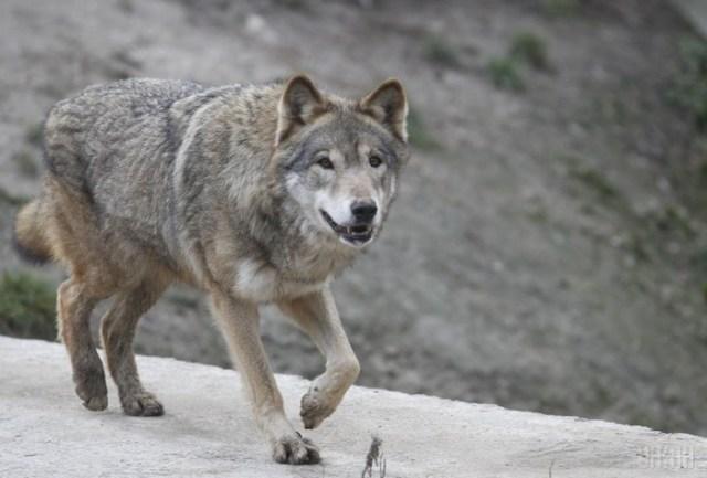 Волк: эти хищники едят не только овечек и зайцев