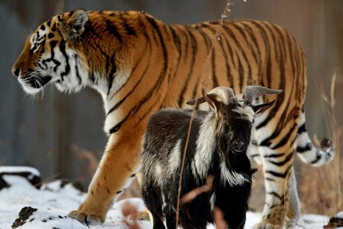 Дружба тигра Амура и козла Тимураудивиламногих. Но...