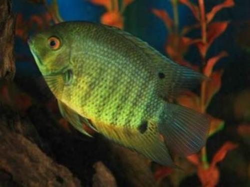Самые красивые аквариумные рыбки