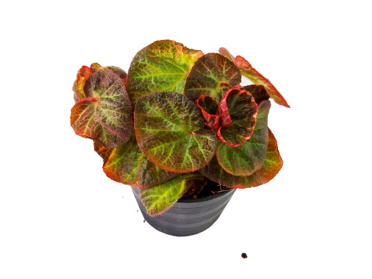 Image result for Strawberry Begonia