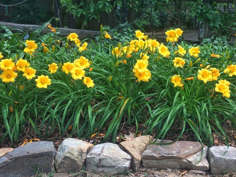 Image result for yellow daylilies