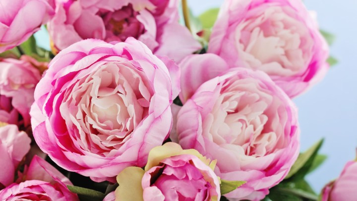 WATCH  12 Surprising Facts All Peony Enthusiasts Should Know     WATCH  12 Surprising Facts All Peony Enthusiasts Should Know   Southern  Living