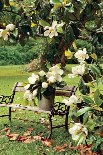 Flowering Southern Trees You Need to Plant Now   Southern Living Magnolia Tree