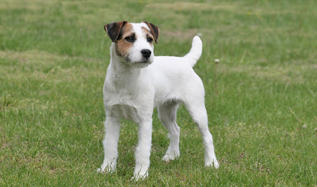 Jack Russell Terrier Information Dog Breeds At Thepetowners