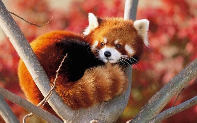 Archivo:Foto-de-un-panda-rojo-en-un-árbol.jpg