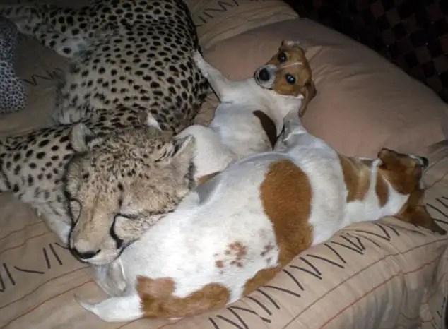 article119588805817ddf0 - Riana Van Nieuwenhuizen vive, duerme y juega cartas con su ejercito de felinos