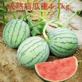 逍遥早佳8424西瓜种子冰糖麒麟西瓜种籽四季特大巨型懒汉高产早熟无籽早 ...