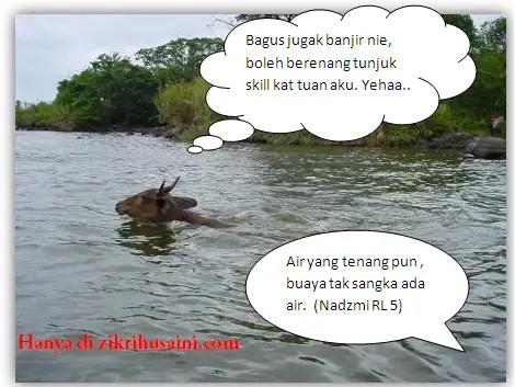 lembu berenang, lembu berenang di sungai, lembu , lembu berenang di tasik,