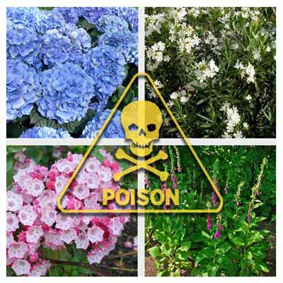 12 deadliest garden plants