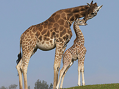 Aw! Giraffe Gives Her Baby a Kiss