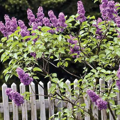 How to Prune Lilac Bushes when dividing and pruning plants
