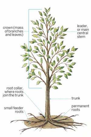 Anatomy of a Shade Tree | All About Shade Trees | This Old House