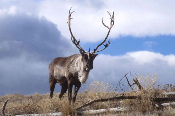 Caribou and other beautiful creatures dot this vast landscape.