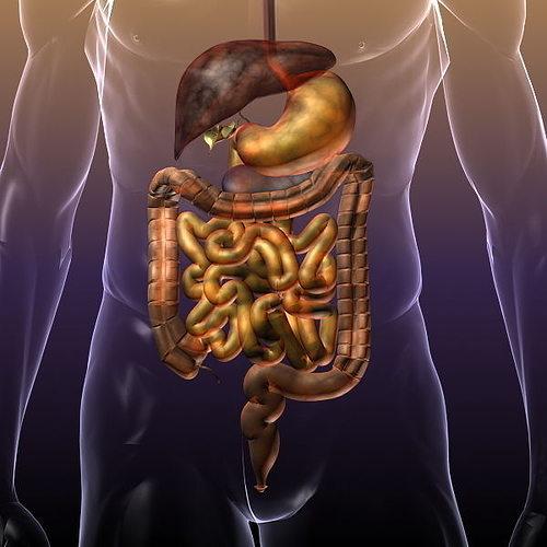 Digestive System in a Human Body 3D Model MAX OBJ 3DS FBX ...