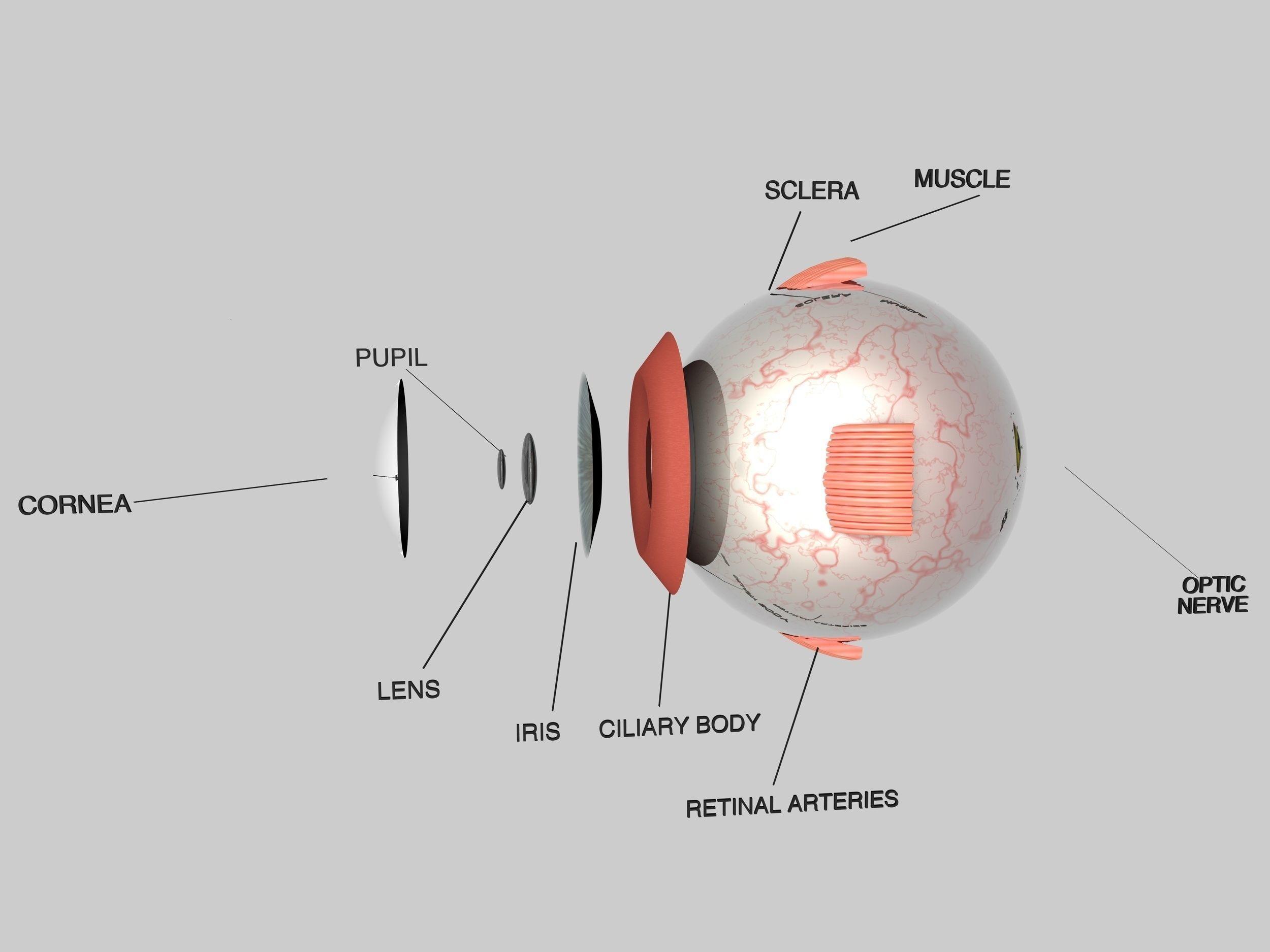 Human Eye Cross Section Eyeball 3d Model Obj 3ds Fbx C4d