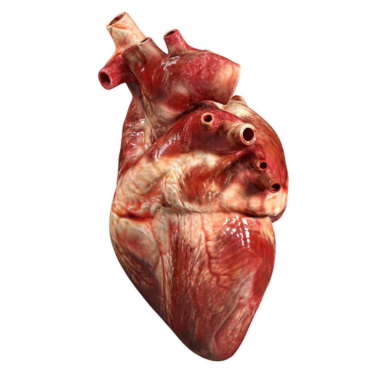 Accurate Human Heart 3d Model Obj 3ds Fbx Blend Dae Mtl