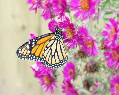 Monarch III - monarch butterfly garden art, summertime magenta asters, orange and black nature photography - 8X10 photograph - finchfieldart