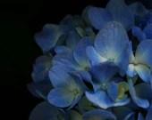 Blue Hydragea Garden Photograph: Forest Black