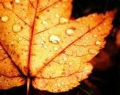Autumn Pop: Maple Leaf and Rain Drops - 16x20 Fine Art Nature Photography Print - Macro Close Up Fall Foliage Home Decor Photo