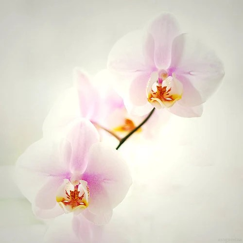 aSymmetrical 8x8 (20x20cm) Fine Art Nature Photography - orchids floral decorating compositions lovely romantic pink white home decor