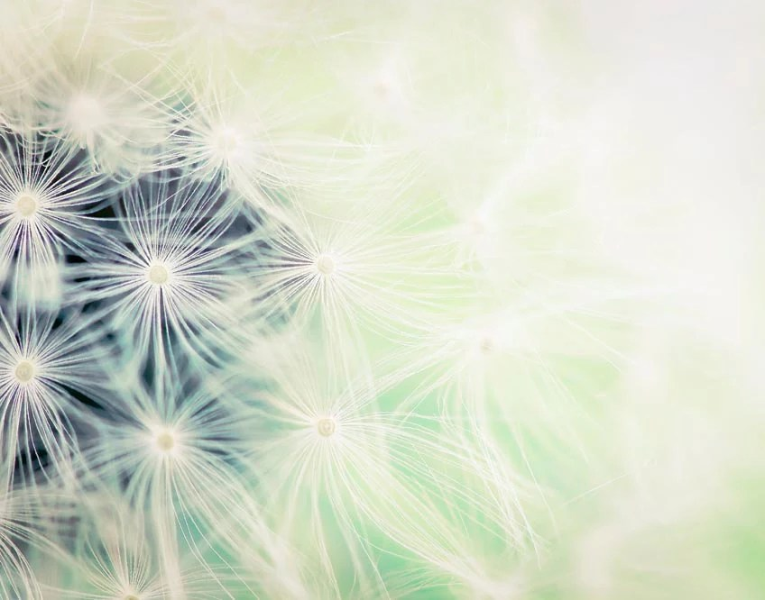 Buy1 Get1 Free Mint green dandelion photography shabby chic summer decor, wall art, gardening, wishes, print, raceytay 8x10 - Raceytay