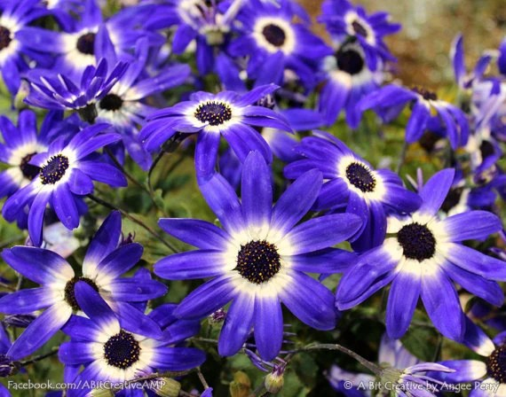 "Garden Photography - plant flower field green blue nature - 11x14 Photograph ""Navy Blue Osteospermum Flower Field"" - ABitCreativeAMP"
