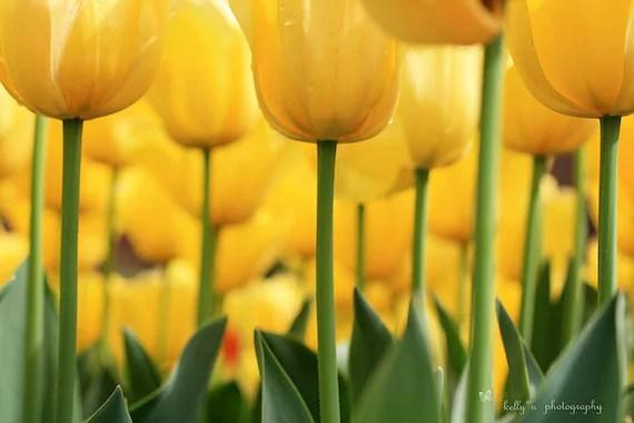 Tiptoed- Under the Tulips!