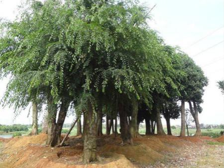 榆樹的主要蟲害及其防治 - 八公 - Garden Manage - GFingerは最も ...