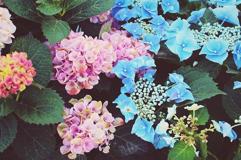 Как спасти гортензию: причины того, почему сохнут листья и варианты решения проблемы. Если у гортензии сохнут листья, нужно искать причину
