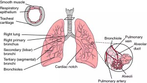 Abscess of lung | definition of Abscess of lung by Medical dictionary