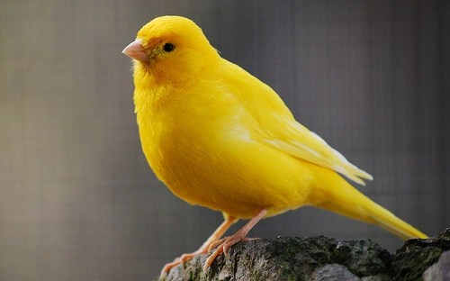 yellow canary rio wiki
