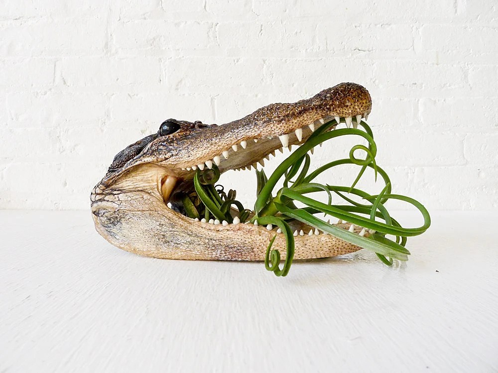 Real Alligator Air Plant Munchie Head - EarthSeaWarrior