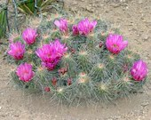 Fushia Pink Cactus Mound Find Art Photography