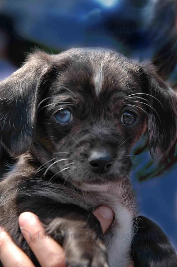 Greenbelt Bowl ⁓ Try These Dapple Dachshund Puppies Illinois
