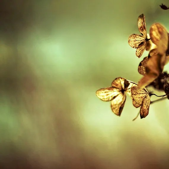 Flower Photo Autumn olive green harvest gold floral Print of hydrangea flower copper metallic bronze brown