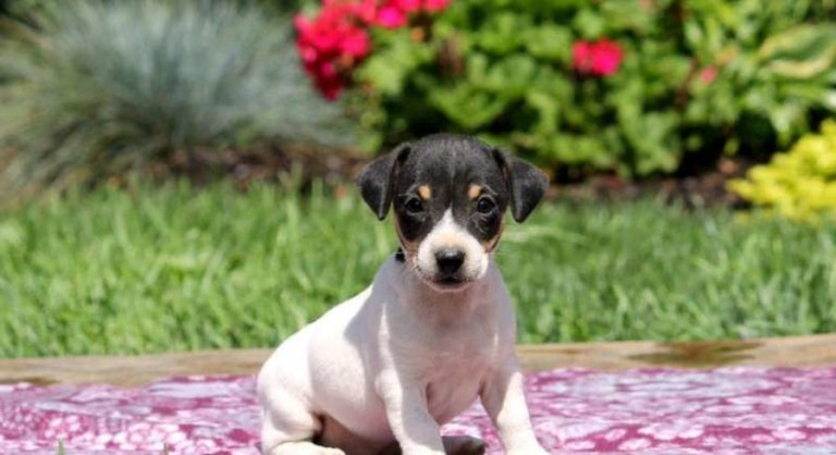 Jack Russell Terrier Health Tips