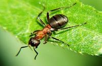 Как муравей поднимает больше своего веса. Какую пользу приносят муравьи, почему муравьи санитары леса? Во сколько раз муравей поднимает больше своего веса