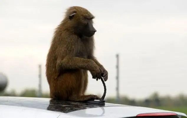 60194984 - 40 monos se enfrentan al reto de probar un coche nuevo
