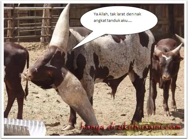 lembu tanduk panjang, kettle long torn, cow, cow long torn, cow cute, picture cow,