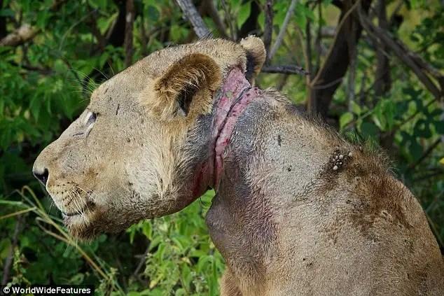 article2147630133586900 - Un león joven condenada a morir de hambre por la trampa de un cazador furtivo