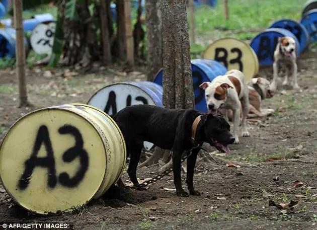 80193964 - 300 pitbulls fueron rescatados de perreras secretas donde eran entrenados para peleas ilegales