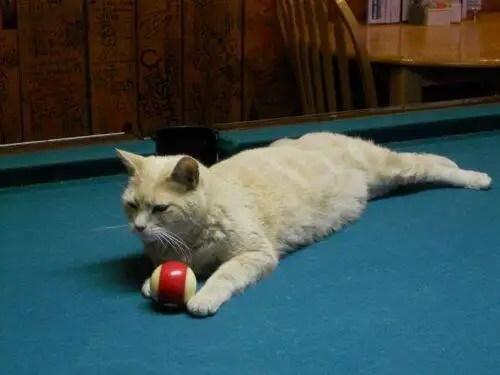 alcaldegato10 - El alcalde de un pueblo de Alaska es un gato (un gato de verdad)