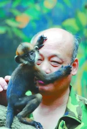 mono4 - Abnegado Zhang, lamió 1 hora las nalgas de un mono para hacerlo defecar
