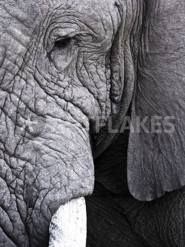 South Africa Kruger National Park African Elephant Bull Close Up Black And White