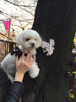 犬とお花見_20150401_1