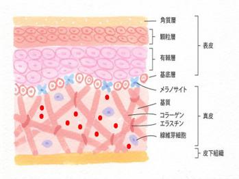皮膚の構造とターンオーバー_20180524_1