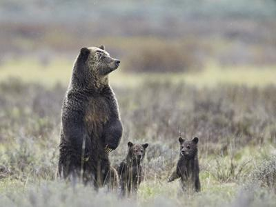 Grizzly Bear Ursus Arctos Horribilis Sow And Two Cubs Of Year All Standing Up On Their Hind Legs Photographic Print James Hager Art Com