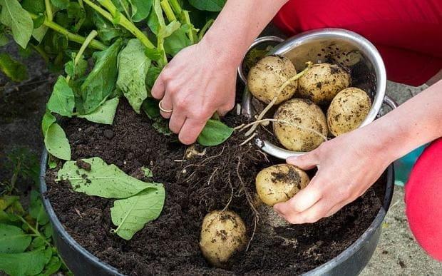 什么菜最容易种?土豆